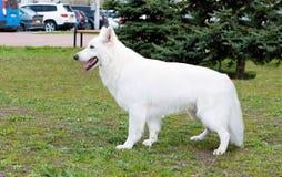 Witte Herderstribunes Royalty-vrije Stock Afbeeldingen