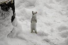 Witte Hermelijn Stock Foto