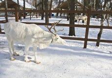 Witte herten Royalty-vrije Stock Foto