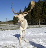 Witte herten Royalty-vrije Stock Foto's