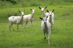 Witte herten Stock Foto's