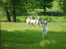 Witte herten royalty-vrije stock afbeeldingen