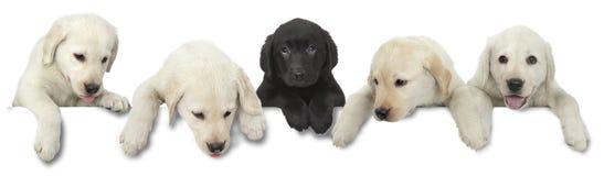 Witte het puppy van de hond en de zwarte verwijderen op wit Stock Afbeeldingen