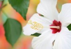 Witte hibiscus stock afbeelding