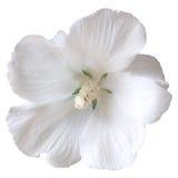 Witte hibiscus royalty-vrije stock afbeeldingen