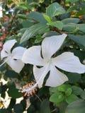 Witte Hibiscus in een bloemtuin stock afbeelding
