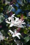 Witte Hibiscusbloemen met lange ref-meeldraad in tuin royalty-vrije stock foto's