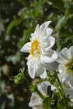 Witte Hillara-Ijsdahlia - Zijaanzicht Royalty-vrije Stock Fotografie