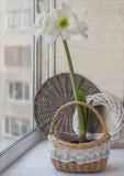 Witte Hippeastrum in mand Royalty-vrije Stock Fotografie
