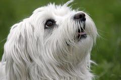 Witte hond Royalty-vrije Stock Foto's