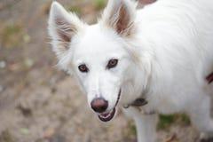 Witte hond (6 maanden) Royalty-vrije Stock Afbeeldingen