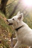 Witte hond (6 maanden) Royalty-vrije Stock Foto's