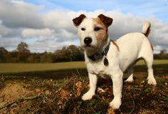 Witte hond Stock Afbeeldingen