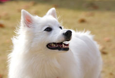 Witte hond Royalty-vrije Stock Fotografie