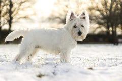 Witte hond in de sneeuw stock foto's