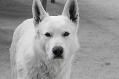 Witte hond dichte omhooggaand stock foto's