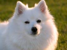 Witte hond die in avondzonlicht zonnebaadt stock afbeeldingen