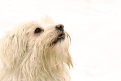 Witte hond die omhoog eruit ziet   Royalty-vrije Stock Afbeeldingen