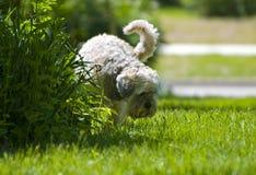 Witte Hond die op installaties urineert Stock Foto
