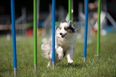 Witte hond die slalom op behendigheidscursus doen stock afbeelding