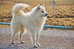 Witte hond die zich in het cultuurlandbouwbedrijf bevindt Royalty-vrije Stock Afbeelding