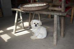 Witte hond en mand wontons Stock Foto's