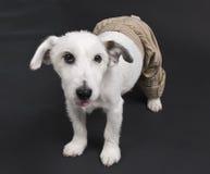 Witte hond in flodderige broek Stock Afbeeldingen