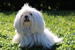 Witte hond in het gras stock fotografie