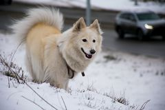 Witte hond Laika die Zonnige de winterdag spelen royalty-vrije stock afbeeldingen