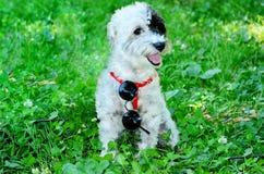 Witte hond met zonnebril die op een groen gras zitten stock fotografie