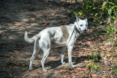 witte hond met zwarte oren die en naar camera glimlachen kijken royalty-vrije stock afbeelding