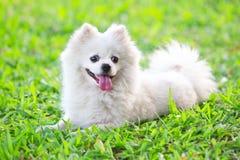 Witte hond op groen gras Stock Fotografie