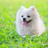 Witte hond op groen gras Stock Afbeelding