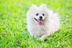Witte hond op groen gras Stock Foto's