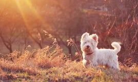 Witte hond op weide Royalty-vrije Stock Fotografie