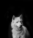 Witte hond op zwarte Stock Afbeeldingen