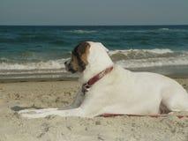 Witte hond peinzend bij het strand Stock Fotografie