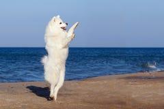 Witte hond Samoyed die op het strand door het overzees dansen Stock Afbeelding