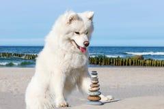 Witte hond Samoyed en rotsen zen op het strand Stock Foto's