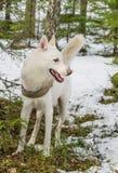 Witte hond schor in bos Royalty-vrije Stock Fotografie