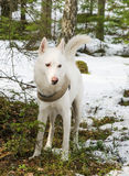 Witte hond schor in bos Stock Foto's