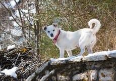 Witte Hond in Sneeuw Royalty-vrije Stock Afbeelding
