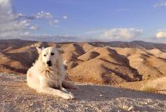 Witte hond in woestijn Stock Afbeeldingen