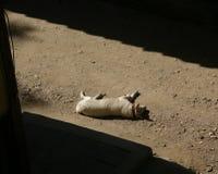 Witte hondslaap Royalty-vrije Stock Foto's