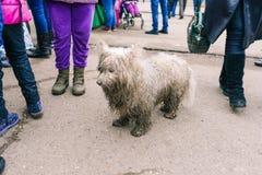 Witte hondtribunes op de weg De mensen wandelen rond Het dier zoekt zijn eigenaars in de betekenis Eenzame hond in stad stock foto's