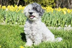 Witte hondzitting in een de lentetuin stock foto's