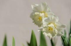 Witte Horizontale Gele narcissen Royalty-vrije Stock Afbeelding