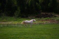 Witte hors op gebied Stock Foto's