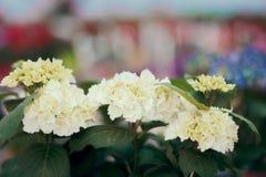 Witte Hortensia Flower Detail op Serre Bloemenachtergrond Royalty-vrije Stock Foto's