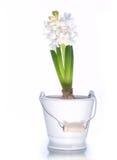 Witte hyacint Royalty-vrije Stock Fotografie